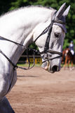 Portrait of gray sport horse during show Royalty Free Stock Photography