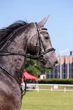 Portrait of gray sport horse during show Stock Images