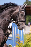 Portrait of gray sport horse during show Royalty Free Stock Image