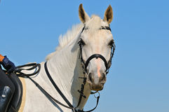 Portrait of gray sportive horse royalty free stock image