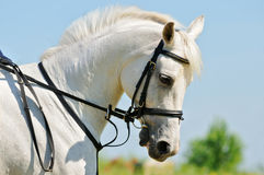 Portrait of gray sportive horse stock photography