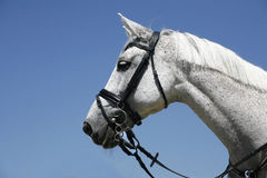 Portrait of a gray sports horse on blue sky background Stock Images