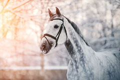 Portrait of a gray sports horse in the winter Stock Images