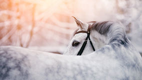 Portrait of a gray sports horse in the winter. At sunset. Portrait of a sports stallion. Thoroughbred horse. Beautiful horse Royalty Free Stock Images