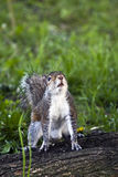 Portrait of gray squirrel Stock Photos