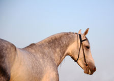 Portrait of a gray stallion on the sky background. Portrait of a gray Orlov trotter breed stallion on the sky background Stock Photos