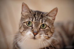 Portrait of a gray striped cat with green eyes. Stock Image