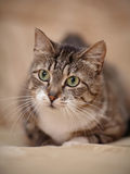 Portrait of a gray striped cat with green eyes. Royalty Free Stock Images