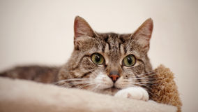 Portrait of a gray striped cat with green eyes. Stock Photography
