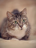 Portrait of a gray striped cat with green eyes. Royalty Free Stock Photo