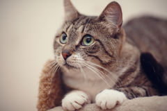 Portrait of a gray striped cat with green eyes. Royalty Free Stock Photos