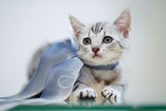 Portrait of a gray striped kitten with a bow stock image