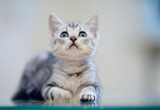 Portrait of a gray striped kitten royalty free stock photo