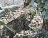 Portrait of gray striped street cat from Tuscany Stock Images