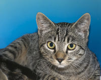 Portrait of a gray and tan tabby on blue background. Portrait of a gray and tan tabby on blue textured background Stock Photo