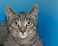 Portrait of a gray and tan tabby. On blue textured background Stock Photo