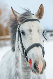 Portrait of a gray thoroughbred horse in winter Stock Photography
