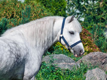 Portrait of  gray  welsh pony. Stock Images