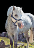Portrait of  gray  welsh pony. Royalty Free Stock Photography