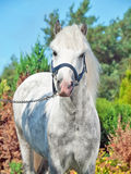 Portrait of  gray  welsh pony Stock Image