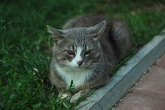 Portrait of a gray white cat lying on the green grass royalty free stock image