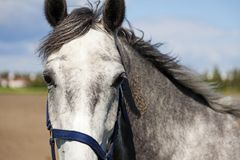 Portrait of gray white horse in summer garden royalty free stock images