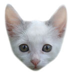 Portrait of a gray and white kitten. On a white background Royalty Free Stock Photography