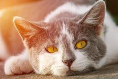 Portrait of gray-white kitten with bright orange eyes illuminate Stock Photo
