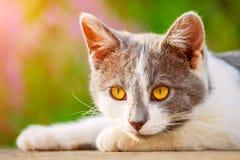 Portrait of gray-white kitten with bright orange eyes illuminate Stock Photos