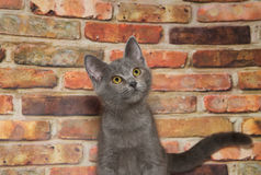 Portrait of gray and white tabby kitten looking up Stock Photos