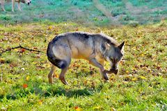 Portrait of gray wolf Canis lupus stock photos