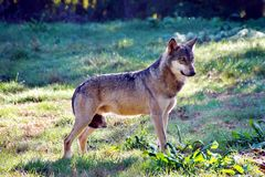 Portrait of gray wolf Canis lupus royalty free stock image