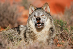 Portrait of Gray wolf Stock Images