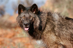 Portrait of Gray wolf Stock Image
