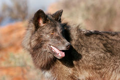 Portrait of Gray wolf Stock Photos