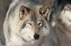 Portrait of gray wolf Royalty Free Stock Image