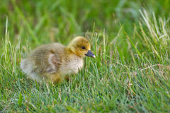 Portrait of a graylag goose chick Stock Photos