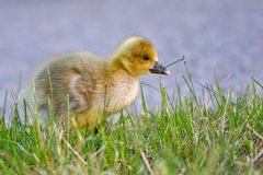 Portrait of a graylag goose chick Royalty Free Stock Photos