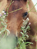 Portrait of grazeing arabian foal with herbs. Close up Royalty Free Stock Photo
