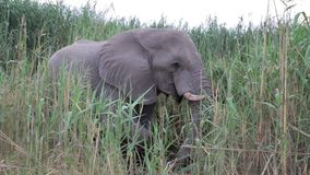 Portrait of grazing African Elephant stock footage