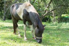 Portrait of grazing bay horse. Eating grass Stock Image