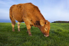 Portrait of grazing cow Royalty Free Stock Images