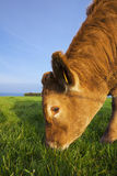 Portrait of grazing cow Royalty Free Stock Image