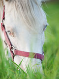 Portrait of grazing cremello welsh  pony  at pasture. close up Royalty Free Stock Images