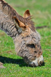 Portrait of a Grazing Donkey. Stock Photo