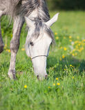 Portrait of grazing grey arabian horse Stock Photo