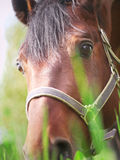 Portrait of grazing nice horse closeup Stock Photo