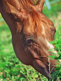 Portrait of grazing sorrel horse. Close up royalty free stock photography