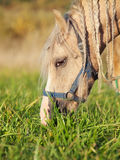Portrait of grazing welsh  pony. close up Royalty Free Stock Images