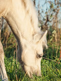 Portrait of grazing welsh  pony  foal . Royalty Free Stock Photo